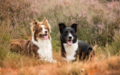 2 Border Collies op de heide